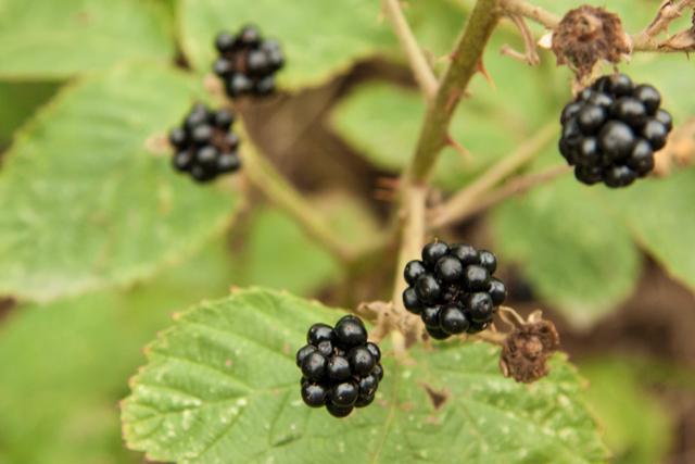LL_Blackberry-tart_14